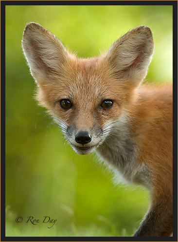 Red Fox Portrait, (Vulpes vulpes)